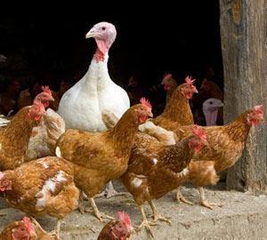 [Avian flu[5].jpg]