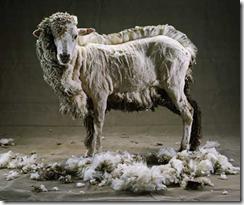 sheep1jpg