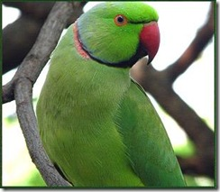 indian-parrot