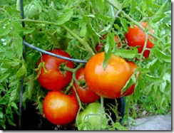 tomato-tree