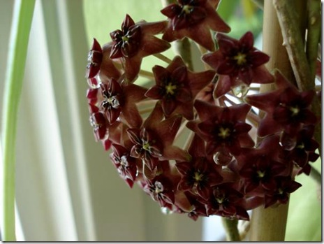 purpureo fusca blomma