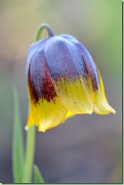 Frittilaria michailovskyi