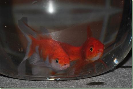 Hur ser man skillnad på en kvinlig och en manlig fisk ??