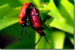 liljebaggar
