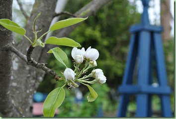 päronblomst