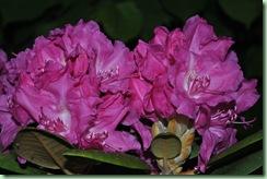 Rhododendron yakushimanum ´Lumina´