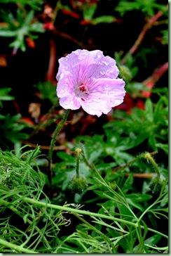geranium sang. var. 'Striatum'