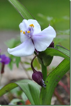 Tradescantia andersoniana 'Little Doll'