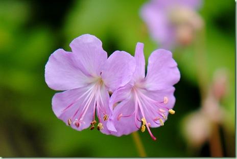 Geranium cantabrigiense '??'
