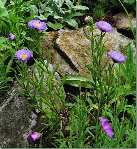 Erigeron hybrid 'Azure Fairy'