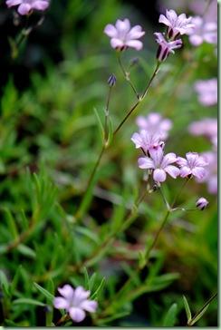 Gypsophila repens 'Rosea'