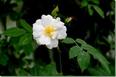 Rose Polstjerne