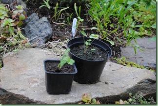 väntar på plantering