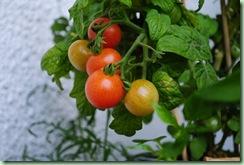 bentes tomater