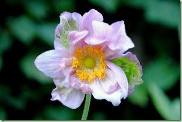 Anemone hybrida 'Queen Charlotte'