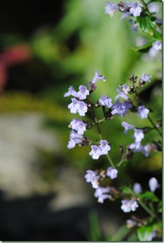 Calamintha nepata ssp nepata