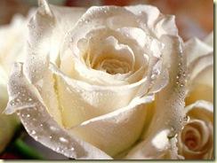 gouttes_rose