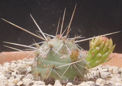 Opuntia fragilis Opuntia%20fragilis%20-alberta%20Canada