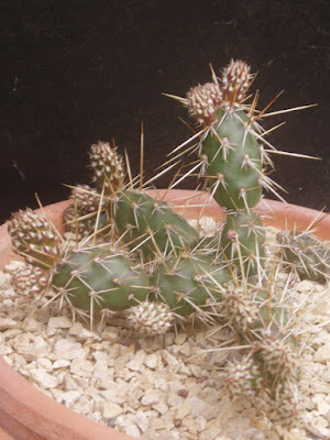 Opuntia fragilis Opuntia%20fragilis%20L2364