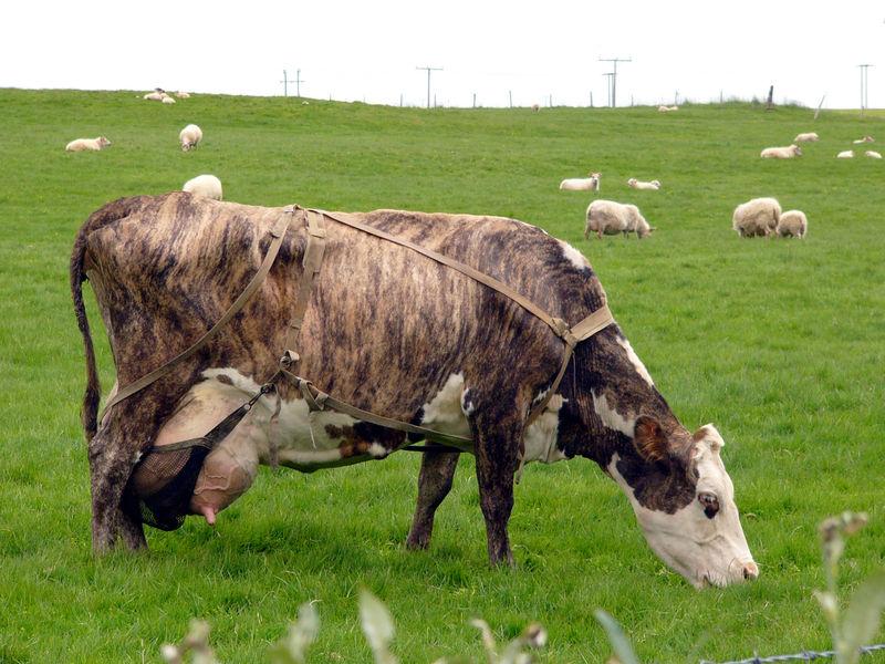 ijslandse koe