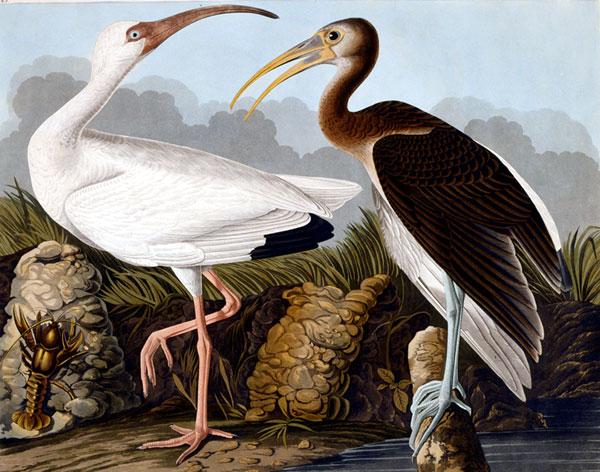john james audubon, witte en bruine ibis