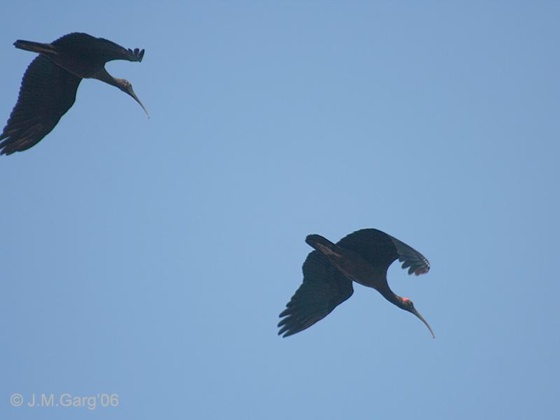 indiase zwarte ibissen, j.m. garg