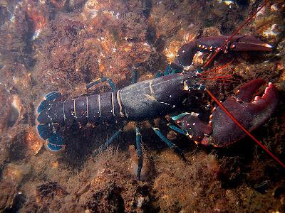 europese lobster bij den osse (bart braun)