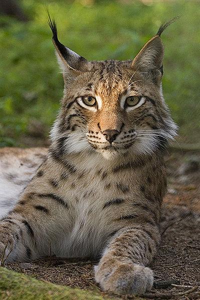 onze lynx, foto Bernard Landgraf