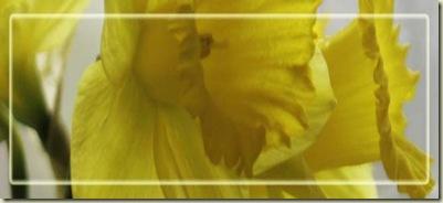 daffodils blk_edited-1