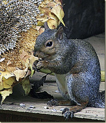 sunflower squirrel1aa