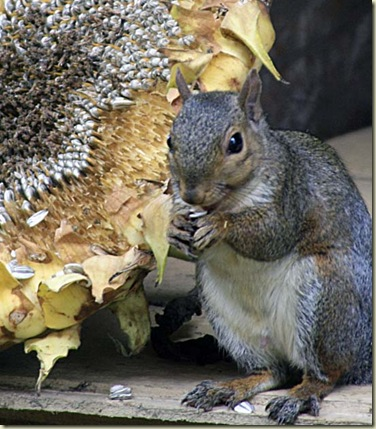 sunflower squirrel7 mouth