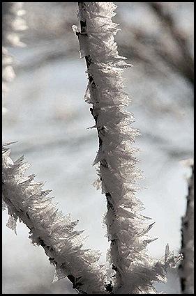 hoar frost2 1-9-11