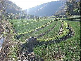 Mae Chaem Rice Fields