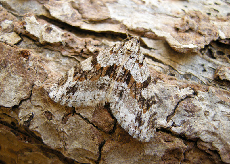 Barred Tooth Striped Moth seen on Warton Crag