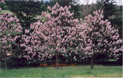Paulownia   Tomentosa Cesarskie Drzewo