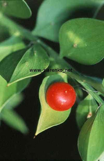 Ruszczyk kolczasty (Ruscus aculeatus)