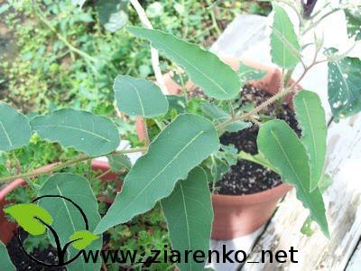 Eukaliptus cytrynowy (Eucalyptus citriodora,Corymbia citriodora)