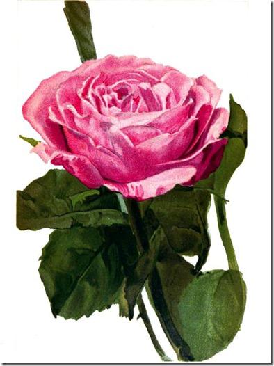 rose2_rpfh