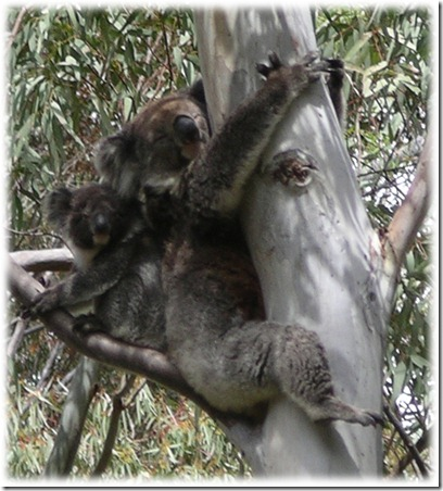 koalas in tree close up