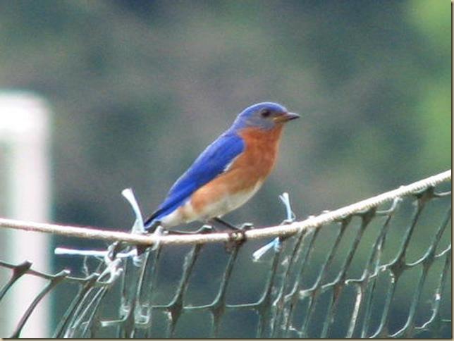 Eastern-Bluebird-by-Ravenscroft-797308