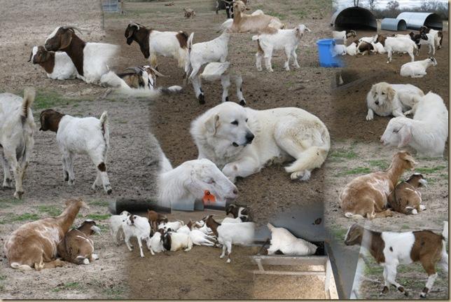 Dec 2009 goats_AutoCollage_12_Images