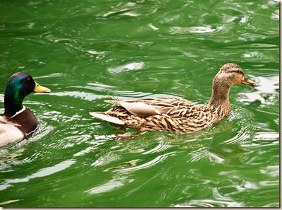 duck-chasing-duck