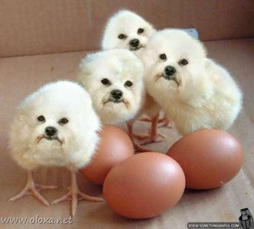 puff-dog-meme-5