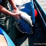Pêche alose 36.jpg