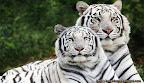 macan putih memangsa manusia