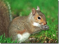 gray_squirrel_pgc380