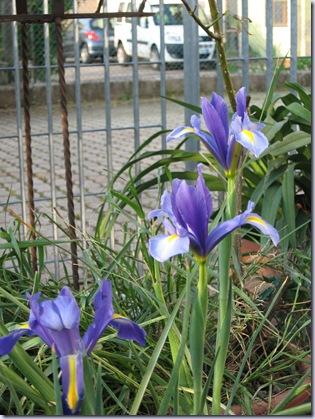 iris 022