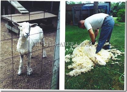 Animalssheepshear