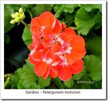 geranio2