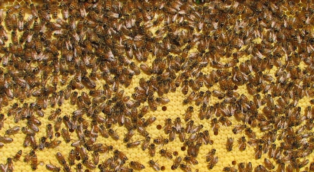 Itaalia mesilase haue